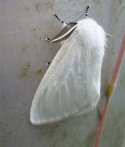 White Satin Moth. Copyright: Stephen Rolls