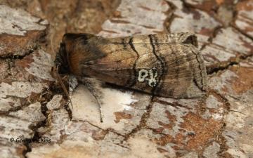 Tethea ocularis  Figure-of-Eighty Copyright: Graham Ekins