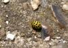 22 spot ladybird Copyright: Sue Grayston