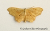 Idaea emarginata      Small Scallop Copyright: Graham Ekins