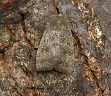 Olive  Ipimorpha subtusa Copyright: Graham Ekins
