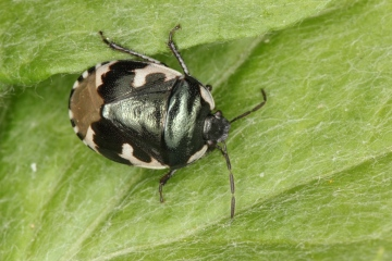 Tritomegas bicolor Copyright: Peter Harvey