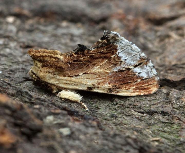 Maple Prominent  Ptilodon cucullina Copyright: Graham Ekins