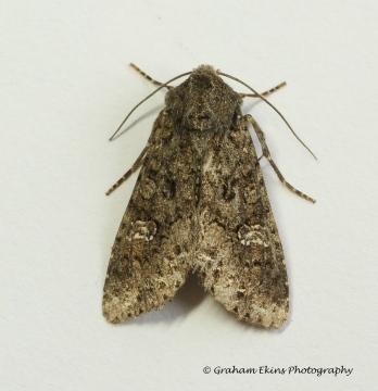 Cabbage Moth  Mamestra brassicae 3 Copyright: Graham Ekins