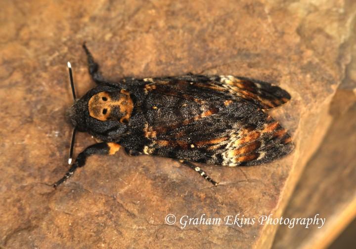 Death's Head Hawkmoth    Acherontia atropos  2 Copyright: Graham Ekins