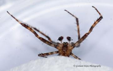 Araneus diadematus 5 Copyright: Graham Ekins