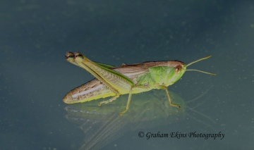Chorthippus parallelus  (Meadow Grasshopper) Copyright: Graham Ekins