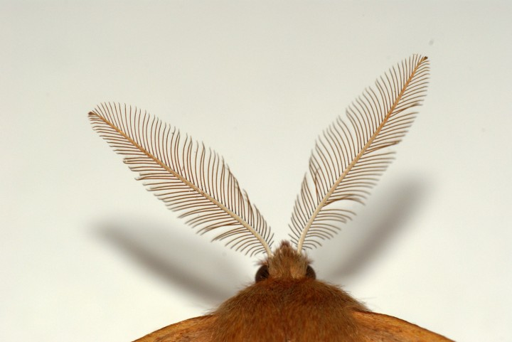 Feather Thorn antennae Copyright: Ben Sale