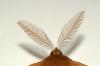 Feather Thorn antennae Copyright: Ben Sale