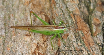 Conocephalus discolor (Long-winged Conehead) Copyright: Graham Ekins