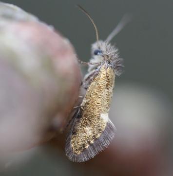 Eriocrania subpurpurella - MGC Copyright: Robert Smith