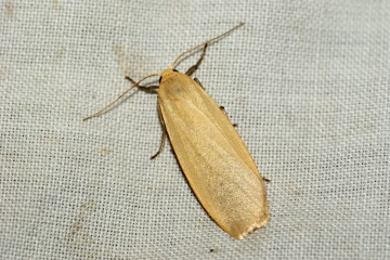 Buff Footman 2 Copyright: Ben Sale