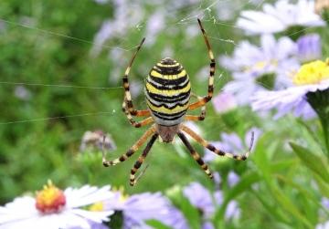 Wasp Spider on Michaelmas Daisies Copyright: Raymond Small