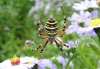 Wasp Spider on Michaelmas Daisies Copyright: Raymond Small