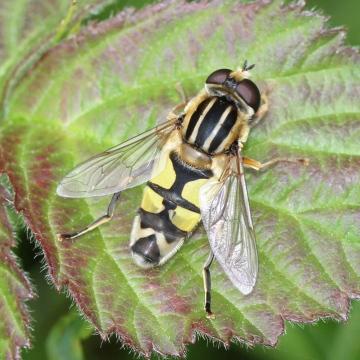 Helophilus trivittatus 2 Copyright: Geoff Vowles