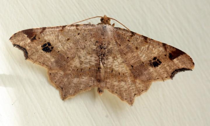 Peacock Moth 3 Copyright: Ben Sale