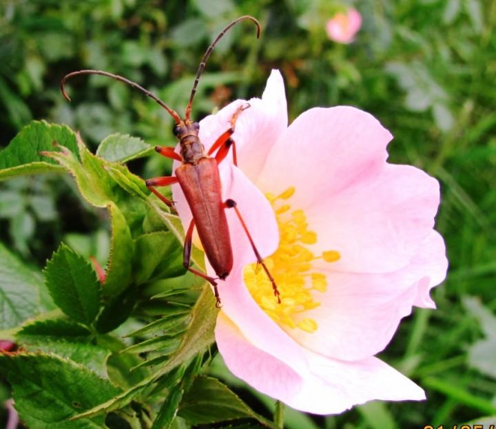Varibale Longhorn Beetle Copyright: Graham Smith
