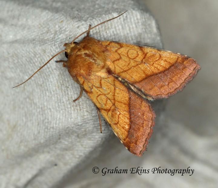 Bordered sallow  (Pyrrhia umbra) 2 Copyright: Graham Ekins