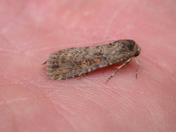 Small Mottled Willow 1 Copyright: Clive Atkins