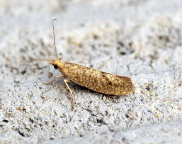 Ypsolopha alpella 1 Copyright: Ben Sale
