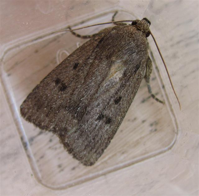 Mouse Moth. Copyright: Stephen Rolls