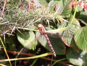 Southern Hawker Copyright: Graham Smith