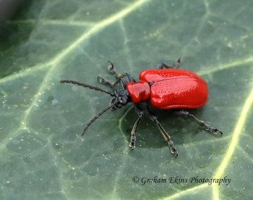 Lilioceris lilii  (Scarlet Lily Beetle) 2 Copyright: Graham Ekins