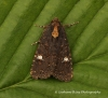 lesser Common Rustic  Mesapamea didyma  2 Copyright: Graham Ekins
