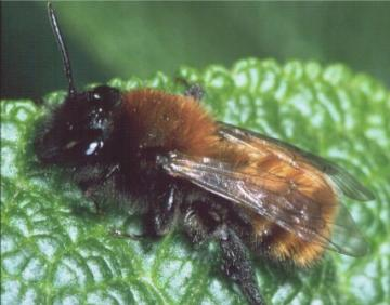 Andrena fulva-2 Copyright: Peter Harvey
