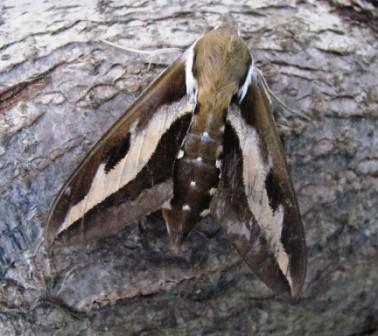Bedstraw Hawk Moth 1 Copyright: Graham Smith
