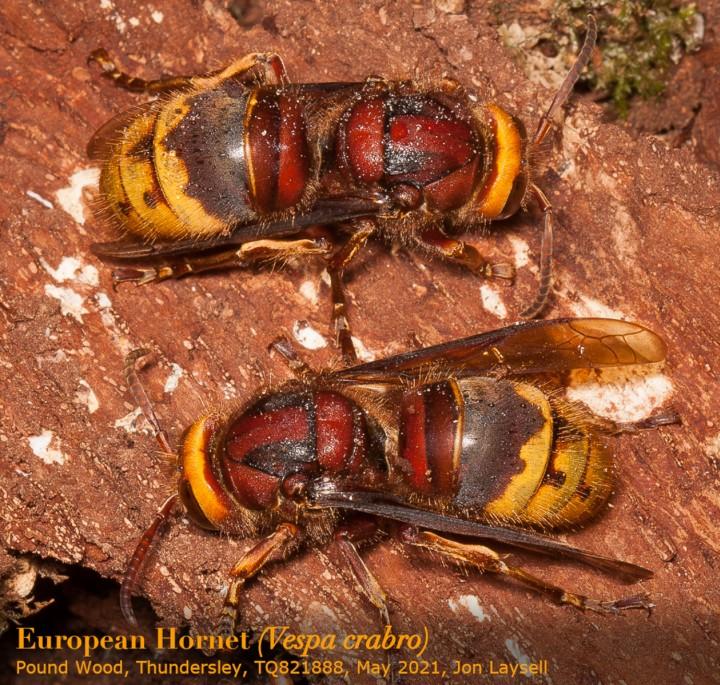 European Hornets - Vespa crabro - May 2021 - Pound Wood Copyright: Jon Laysell