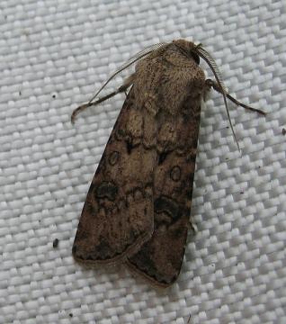 Turnip Moth 2 Copyright: Stephen Rolls