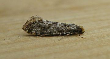 Triaxomera parasitella Copyright: Stephen Rolls