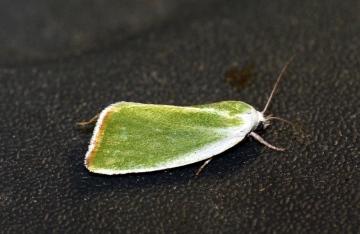 Cream Bordered Green Pea 4 Copyright: Ben Sale