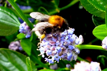 Tree Bumblebee Copyright: Peter Pearson