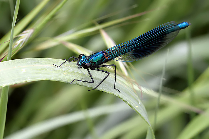 Calopteryx splendens - Male2 (16 May 11) Copyright: Leslie Butler
