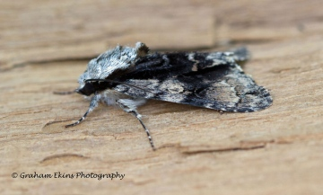 Alder Moth 2 Copyright: Graham Ekins