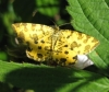 Speckled Yellow Copyright: Stephen Rolls