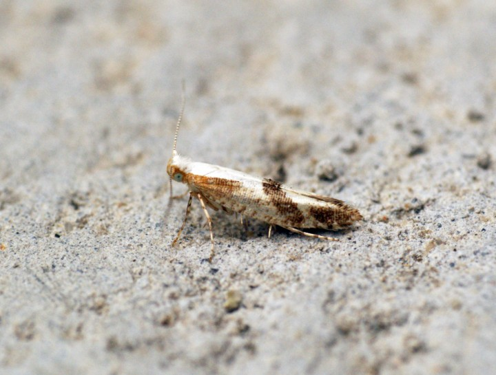 Argyresthia pruniella Copyright: Ben Sale