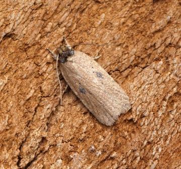 Agonopterix subpropinquella f.rhodochrella 1 Copyright: Ben Sale