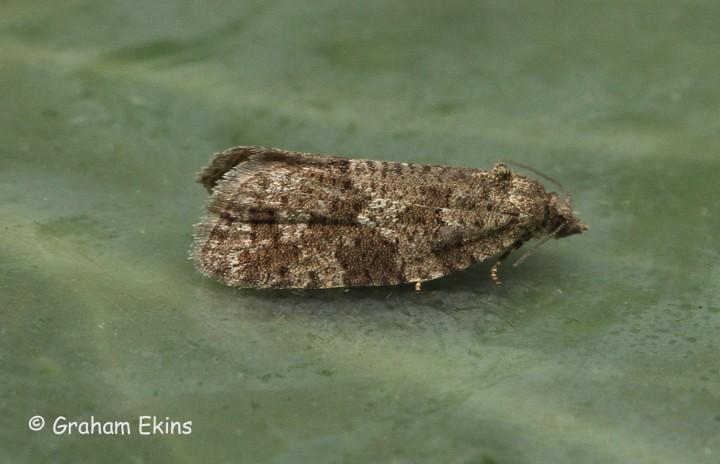 Cnephasia asseclana  Flax Tortrix Copyright: Graham Ekins
