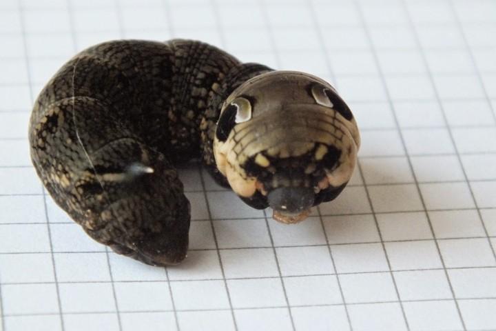 Elephant Hawkmoth caterpillar threat display Copyright: Peter Pearson