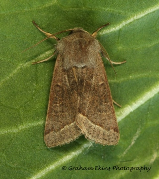Orthosia opima  Northern Drab Copyright: Graham Ekins