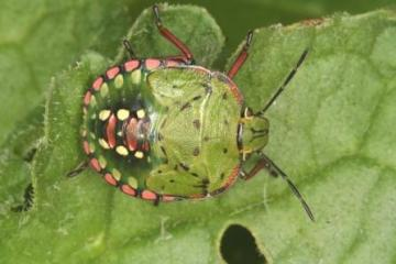 Nezara viridula 5th instar Copyright: Peter Harvey