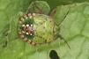 Nezara viridula 5th instar Copyright: Peter Harvey