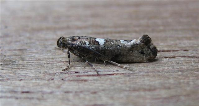 Leek Moth Copyright: Stephen Rolls