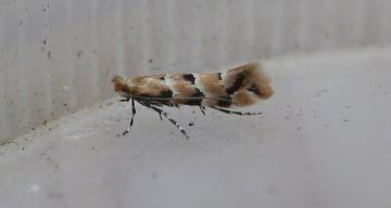 Phyllonoryctert trifasciella. Copyright: Stephen Rolls