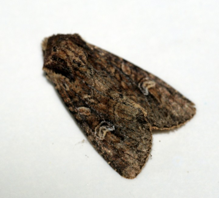 Small Clouded Brindle Copyright: Ben Sale