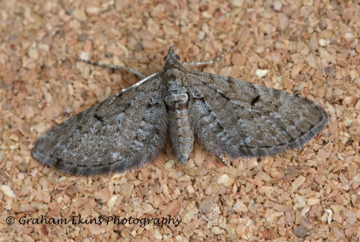 Freyer's pug  Eupithecia intricata Copyright: Graham Ekins