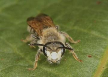 Andrena labialis Copyright: Peter Harvey